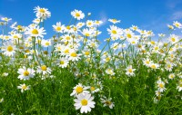 Bibit flower Herb Seeds - 'Common German Chamomile' white rare, beatuiful and unique