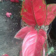 Bibit bunga aglaonema red venus