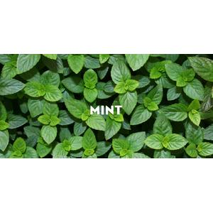 harga Benih Herb Mint Make Your Own Dish With Mint Easy To Grow elevenia.co.id
